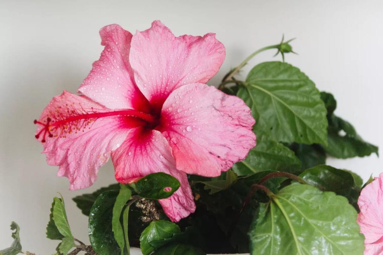 Kembang sepatu (Hibiscus rosa-sinensis)